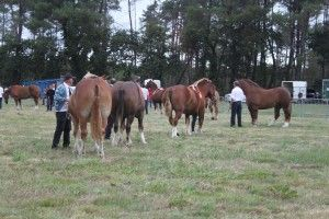 cheval breton 1